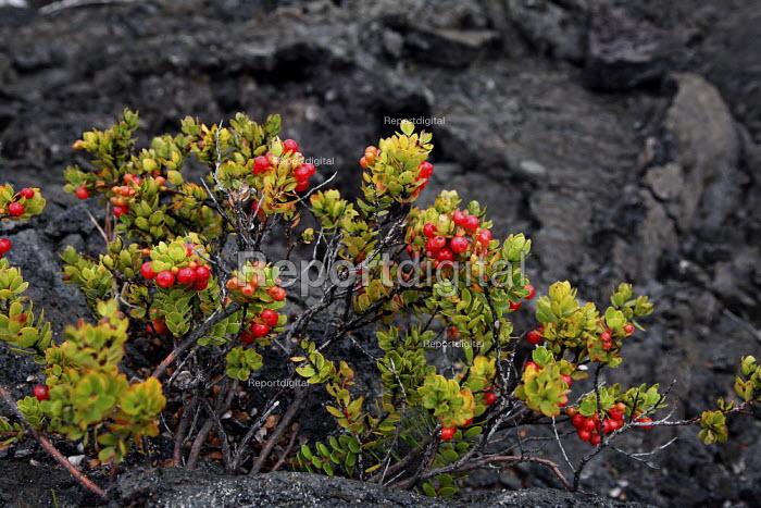 Vaccinium reticulatum, Ohelo Ai, Hawaiian Blueberry. Plants growing in a solidified lava field. Kau Desert in the southwestern area of the park, it is a large expanse of semi-arid lava plain. Big Island, Hawaii, USA. - David Bacon - 2010-02-16