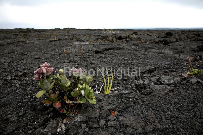 Plants growing in a solidified lava field. Kau Desert in the southwestern area of the park, it is a large expanse of semi-arid lava plain. Big Island, Hawaii, USA. - David Bacon - 2010-02-16