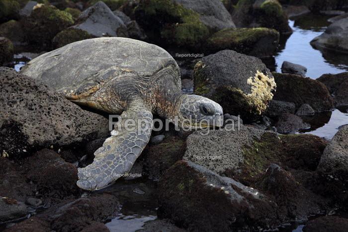 A green sea turtle suns itself on the rocks near the shore, on the windward (eastern) side of the big island of Hawaii. Big Island, Hawaii, USA. - David Bacon - 2010-02-23