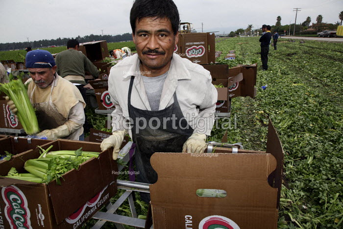 California, A crew of farm workers cuts and packs celery in an Oxnard field. A worker packs bunches of celery into the boxes. - David Bacon - 2010-02-04
