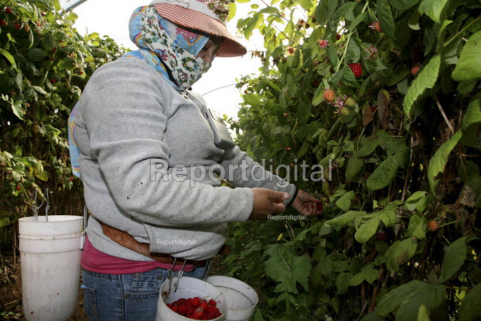 California - A worker from Oaxaca picks raspberries in field covered by a plastic polytunnel to protect it from rain and direct sun. Women often wear a bandanna to protect them from the dust. - David Bacon - 2010-02-04