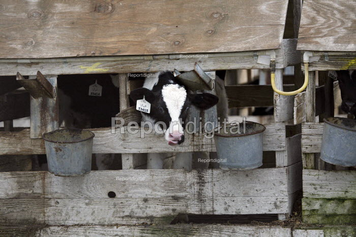A dairy, Central Valley, Tulare and Kern Counties, California, produce milk in industrial conditions. Young dairy cows live in cramped stalls in rundown sheds that are so narrow they can hardly turn around - David Bacon - 2010-02-01