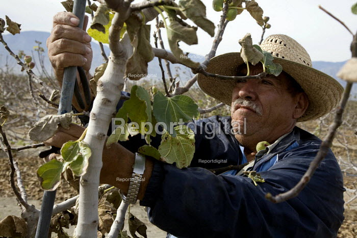 A Mexican immigrant working on K & W Farms, tending organic fig trees. Coachella Valley. - David Bacon - 2010-12-06
