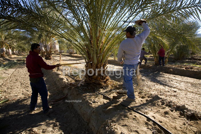 A gang of farmworkers, or palmeros, cut the spines off date palms (Phoenix diactylifera) with a machete. Coachella Valley, California. This is one of eight separate operations workers must perform on date palms in the course of a year in order to grow a crop of dates. - David Bacon - 2010-12-07