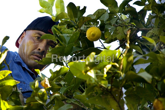 A gang of farmworkers picking lemons in the Coachella Valley, California. They are Purepechans from Mexico. - David Bacon - 2010-12-07