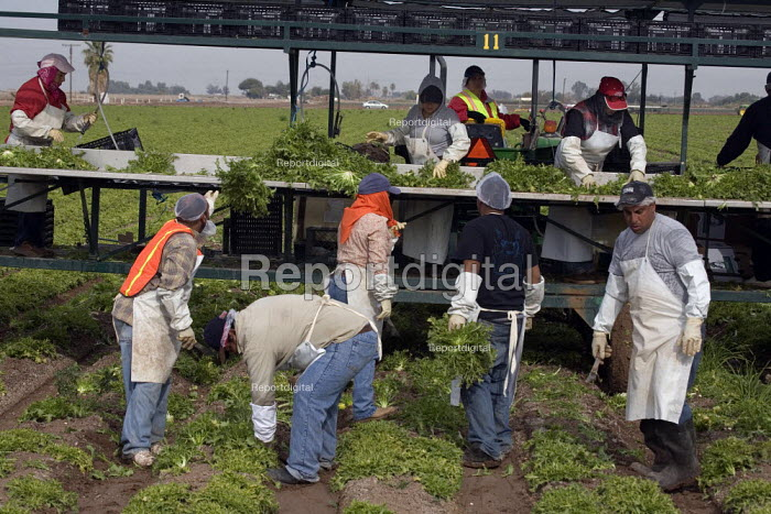 A crew of farm workers cuts and packs endive lettuce on a lettuce machine for Vessey Farms in the Imperial Valley, California - David Bacon - 2010-12-04