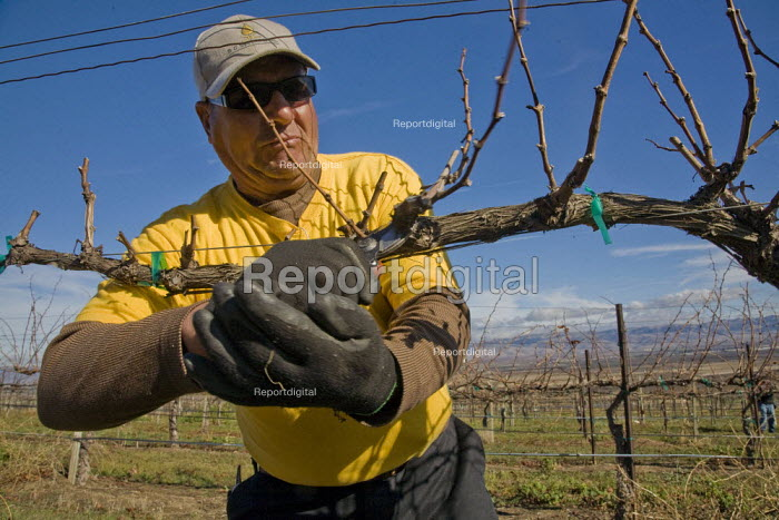 Farm workers pruning grapevines that grow wine grapes in a Salinas Valley vineyard. The crew is made up of migrant workers from Mexico. - David Bacon - 2012-01-26