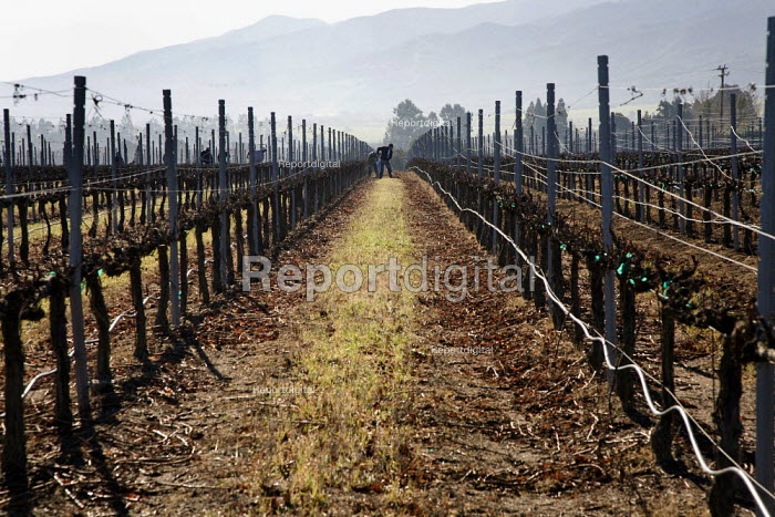 A crew of farm workers rakes to the middle of the row branches pruned from the vines that grow wine grapes, in a field in the Salinas Valley. The crew is made up of migrant workers from Mexico. - David Bacon - 2012-01-26