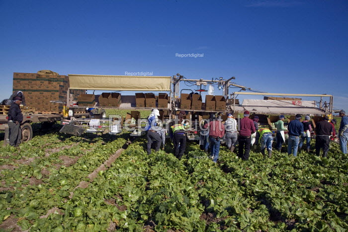 California, Workers harvesting iceberg lettuce in a field... - David Bacon, DNB1202v06.jpg