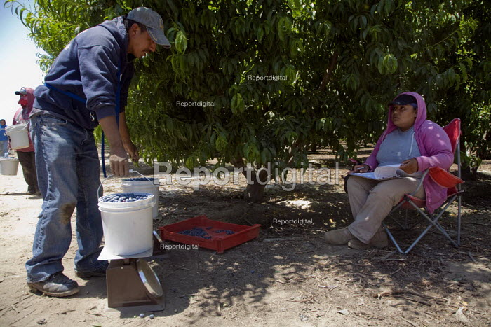 Migrant Mexican farm workers picking blueberries in a field near Dinuba, San Joaquin Valley, California, USA Workers are paid by 8 for each 12 pounds they pick. The weight of the bucket is checked and recorded - David Bacon - 2012-05-24