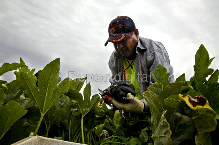A farm worker picking acorn squash in a field just outside... - David Bacon, DNB1208109.jpg