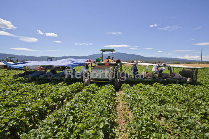 Macdoel, California: Migrant Mexican farmworkers pick the flowers, fruit and runners off strawberry plants in a field belonging to Lassen Canyon Nursery. Workers lie on padded benches in a machine pulled by a tractor, so that they are very close to the plants and can accurately pick off the flowers and fruit. The work requires skill, and many workers are older and have been doing this for many years. They work for the grower for six or seven months and then leave to find work elsewhere. - David Bacon - 2013-08-16
