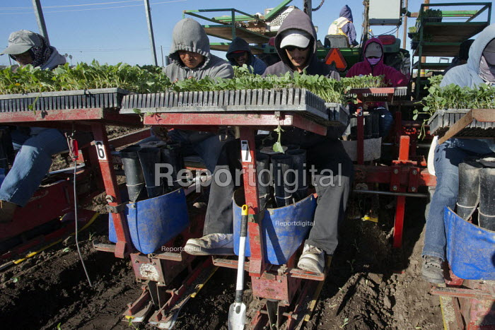 Santa Maria, California, USA. Migrant farmworkers from Mexico planting young seedlings of broccoli plants from a planting machine pulled through a field by a tractor - David Bacon - 2013-12-04