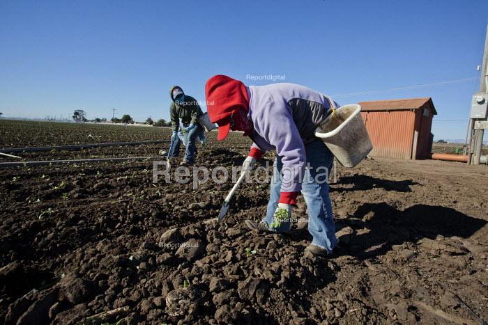Santa Maria, California, USA: Migrant farmworkers from Mexico plant young seedlings of broccoli plants. - David Bacon - 2013-12-04