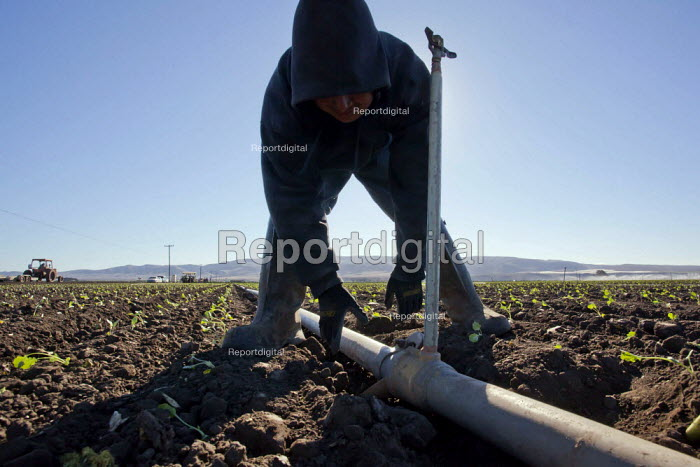 Santa Maria, California, USA: A migrant farmworker from Mexico sets out pipes and sprayers to irrigate a field of young seedlings of broccoli plants. - David Bacon - 2013-12-04