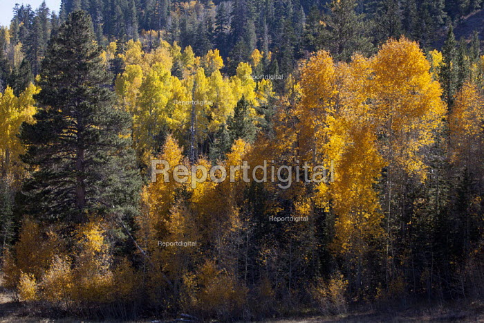 Leaves turn color on Aspens and other trees in the Sierra... - David Bacon, Dnb13aspen006.jpg