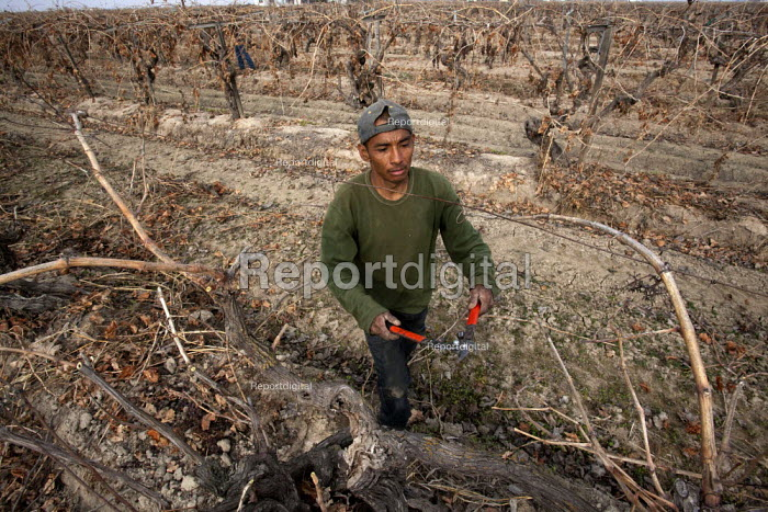 California: A crew of farm workers pruning vines that grow... - David Bacon, DNB140327.jpg