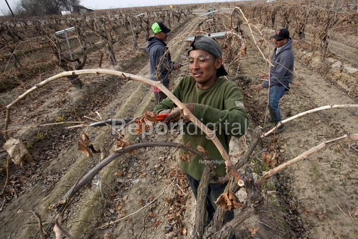 California: A crew of farm workers pruning vines that grow grapes for raisins, in a field near Madera on the ranch of Kenneth Basila. The crew is made up of migrants from Oaxaca, Mexico. - David Bacon - 2014-01-11