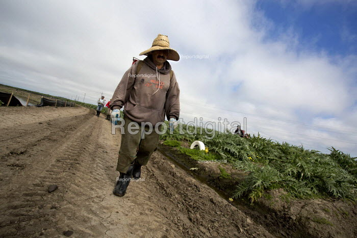 Castroville- The Artichoke Center of the World.. California. Migrant farmworkers harvesting artichokes. Workers in this crew are immigrants from Mexico. - David Bacon - 2015-02-16