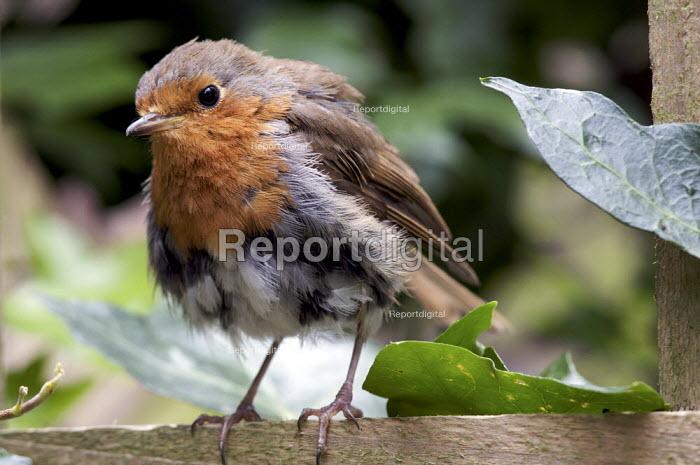 European Robin - Erithacus rubecula - Duncan Phillips - 2008-07-16