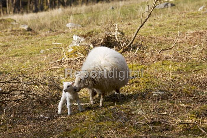 Sheep with newborn Lamb - Duncan Phillips - 2007-04-01