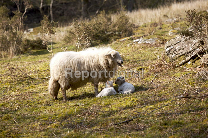 Sheep and Lambs, Wales - Duncan Phillips - 2007-04-01