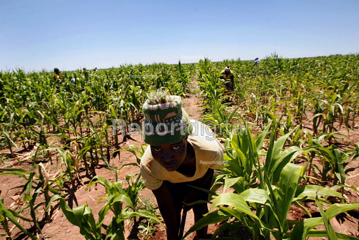 Weipe, South Africa. Women hoe in a maize field. Thousands of Zimbabweans work and live on the farms near the border. - Felipe Trueba - 2007-11-12