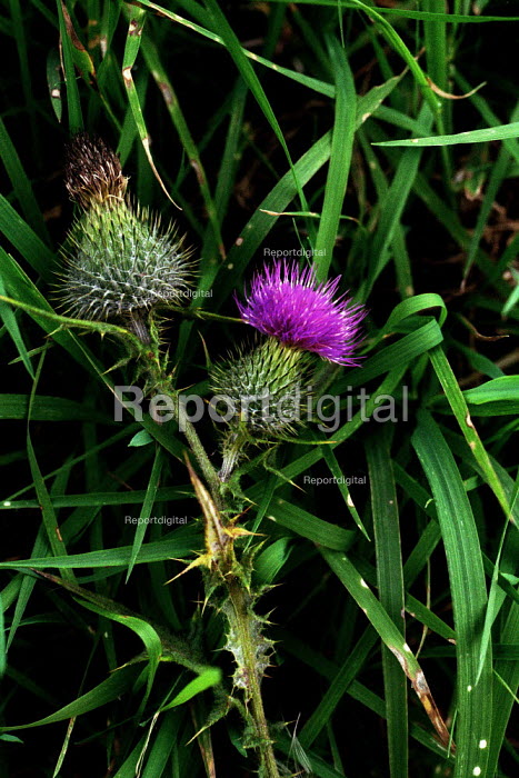 The thistle is known all over the world as the emblem of Scotland. - Gerry McCann - 2002-10-08
