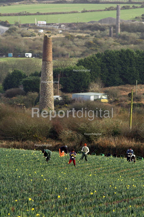 Daffodils pickers near the village of Brae near Camborne in Cornwall. Local pickers are joined by Polish and Lithuanian labourers and receive 8p per bunch which goes down to 6p when the season picks up. Derelict Tin mines dot the landscape - Geoff Crawford - 2006-01-19