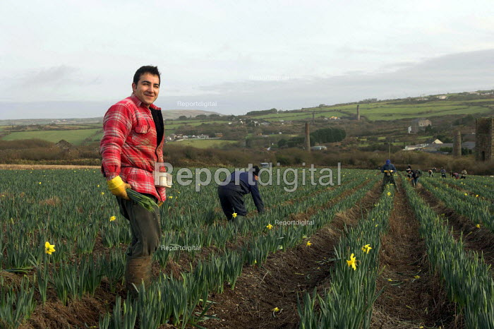 Paulo Nunes a picks daffodils near the village of Brae near Camborne in Cornwall. Local pickers are joined by Polish and Lithuanian labourers and receive 8p per bunch which goes down to 6p when the season picks up - Geoff Crawford - 2006-01-19