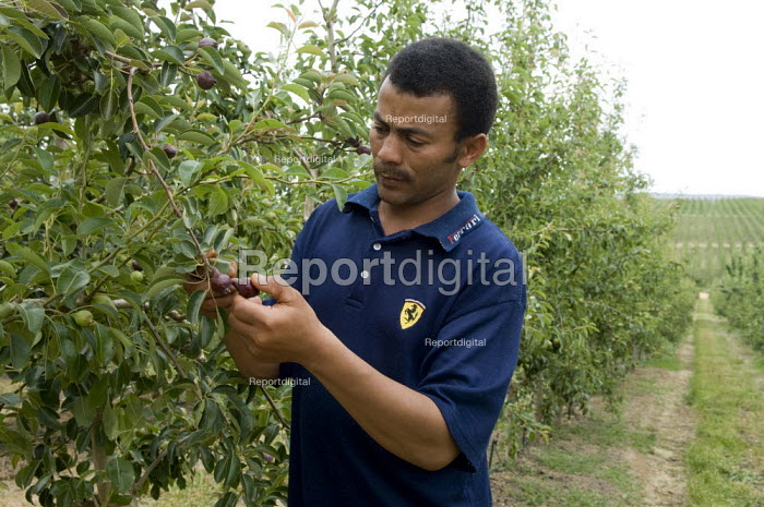 Farmworker Jan Skippers inspects young pears at Thandi... - Geoff Crawford, GC0802012.jpg