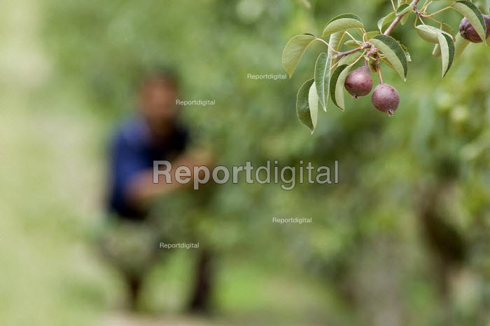 Farmworker Jan Skippers inspects young pears at Thandi fruit farm and winery which specialises in fairtrade produce. South Africa - Geoff Crawford - 2005-11-20