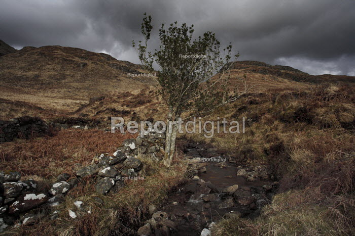 A rowan tree, traditionally a sign of safety or protection, stands guard at a stream near Sandaig on the Knoydart Peninsula. - Gerry McCann - 2006-05-04
