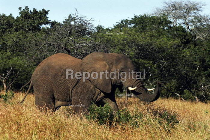 An elephant at iSimangaliso Wetland Park, on South Africas east coast (also called Elephant coast). - Gerry McCann - 2005-05-01