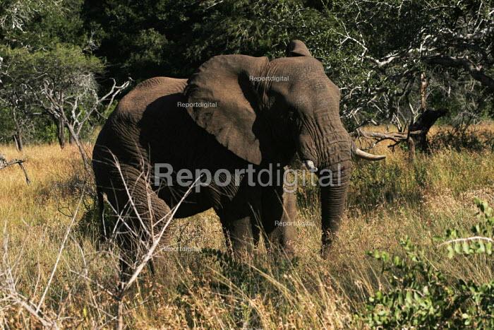 An elephant at iSimangaliso Wetland Park, on South Africas east coast (also called Elephant coast). - Gerry McCann - 2005-05-01