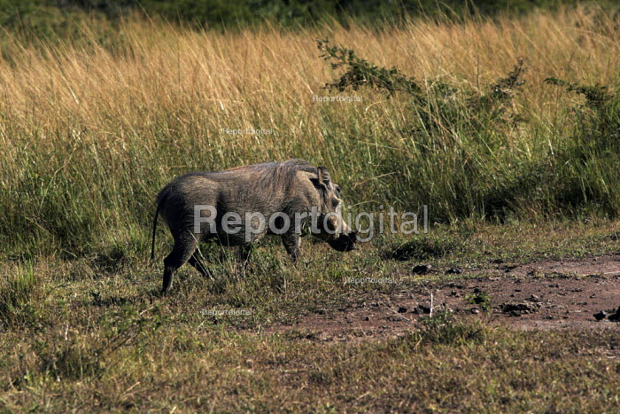 A wild pig at iSimangaliso Wetland Park, on South Africas east coast (also called Elephant coast). - Gerry McCann - 2005-05-01