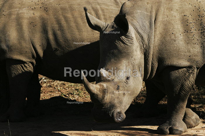 Rhinoceroses at iSimangaliso Wetland Park, on South Africas east coast (also called Elephant coast). - Gerry McCann - 2005-05-01