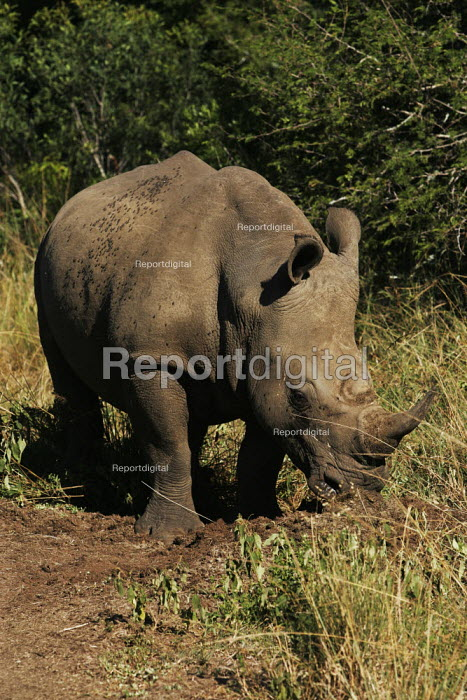 A rhinoceros at iSimangaliso Wetland Park, on South Africas east coast (also called Elephant coast). - Gerry McCann - 2005-05-01