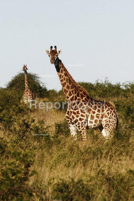 Giraffes at iSimangaliso Wetland Park, on South Africas east coast (also called Elephant coast). - Gerry McCann - 2005-05-01