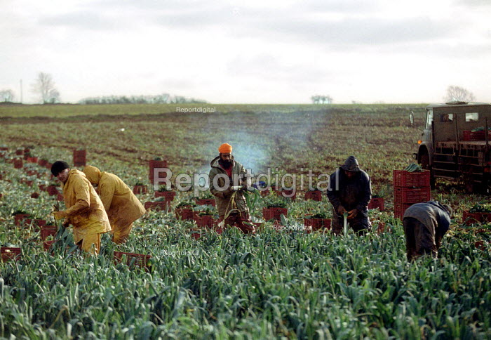 Agricultural workers pulling and cutting leaks in a field on a farm in the Cotswolds. - John Harris - 2002-02-14
