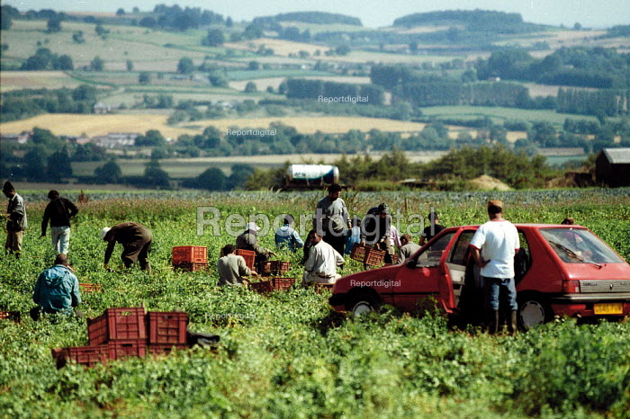 Casual agricultural workers picking peas in the Cotswold hills. They are brought in by gangmasters and the peas are destined for supermarkets - in this instance Marks and Spencer. - John Harris - 2002-08-22