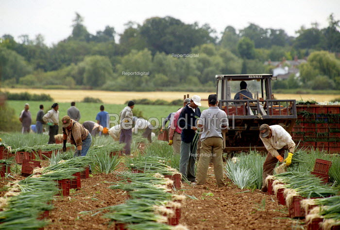 Gangmasters and casual agricultural workers harvesting spring onions in a field on a farm in Warwickshire - John Harris - 2003-08-21