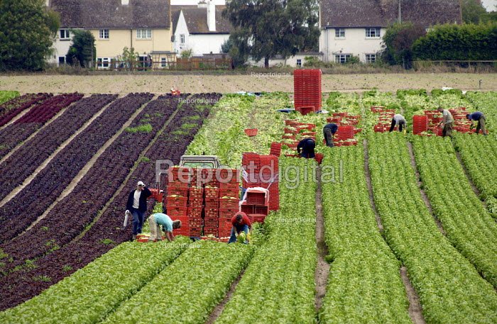 Workers from the Ukraine picking lettuce on a Farm in the Vale of Evisham. - John Harris - 2003-09-19
