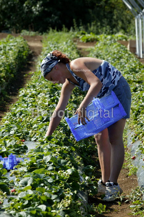 Polish migrant workers picking strawberries in Bretforton. Fusion Personnel. - John Harris - 2005-09-06
