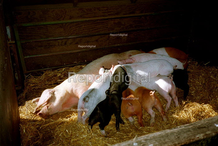 Sow feeding piglets in a pigsty on a farm. - John Harris - 2000-10-18
