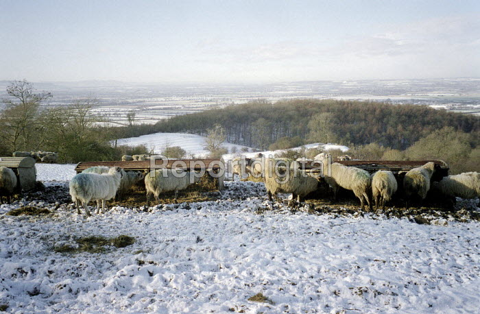 Snow on farmland sheep eating fodder. Dover's Hill in the Cotswolds. - John Harris - 2000-12-26