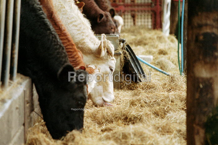 Herd of cattle eating hay in cattle shed on a farm at risk from foot and mouth disease. - John Harris - 2001-03-28