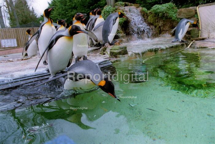 King Penguins, Penguin enclosure Bourton on the Water Bird Gardens. - John Harris - 2002-03-11