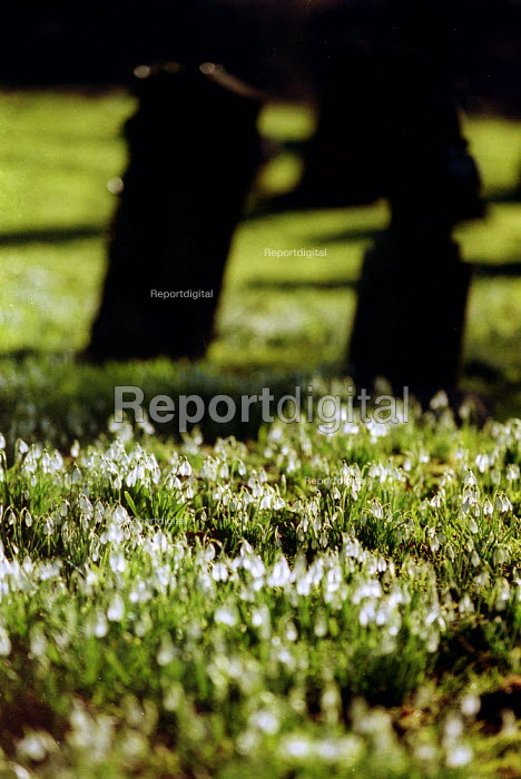 Snowdrops growing in a Church graveyard, spring is on its way, Warwickshire - John Harris - 2003-02-03