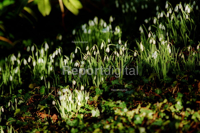 Snowdrops growing in a wood, spring is on its way. - John Harris - 2003-02-03